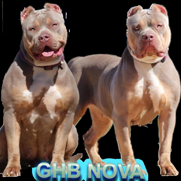 XXL American Bully Dam  Chop X Nova Breeding